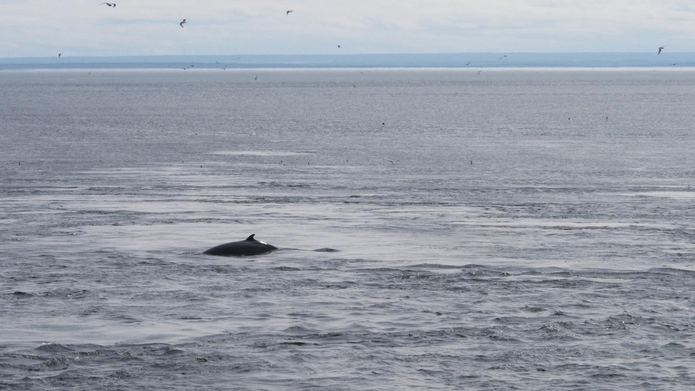 Avistamiento de ballenas en Tadoussac Canadá